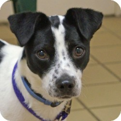 Ladybug Adopted Puppy Eatontown Nj Jack Russell Terrier Border Collie Mix