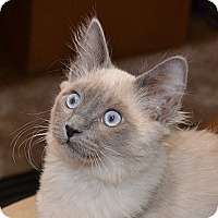 Adopt A Pet :: Belle's Blue - Davis, CA