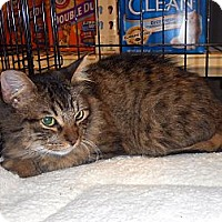 Adopt A Pet :: Tabby Guy - College Station, TX