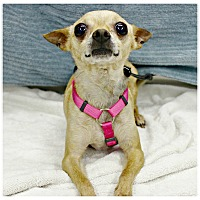 Adopt A Pet :: Trixie - Forked River, NJ