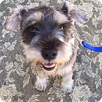 Adopt A Pet :: Stewie - Redondo Beach, CA