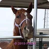 Quarterhorse Mix for adoption in Madera, California - Johnzy 363/Pasture