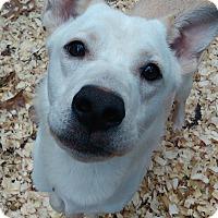 Adopt A Pet :: Koda - Lebanon, CT