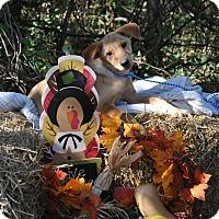 Adopt A Pet :: Lady adoption pending - East Hartford, CT