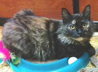 Domestic Mediumhair Cat for adoption in Springfield, Oregon - Miss Squeaky P