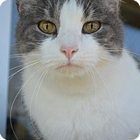 American Shorthair Cat for adoption in New Iberia, Louisiana - MING