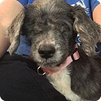Adopt A Pet :: Sierra Monet - Cleveland, OH