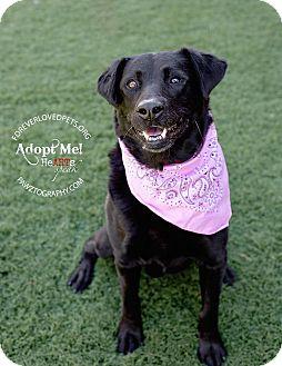Labrador Retriever Mix Dog for adoption in Scottsdale, Arizona - Angel