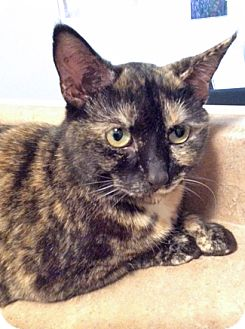 Domestic Shorthair Cat for adoption in Mississauga, Ontario, Ontario - Lina