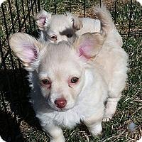 Adopt A Pet :: Shimmer - Henderson, NV