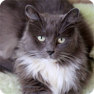 Domestic Longhair Cat for adoption in Pacific Grove, California - Fluffy Serena