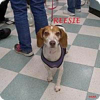 Adopt A Pet :: REESIE - Ventnor City, NJ