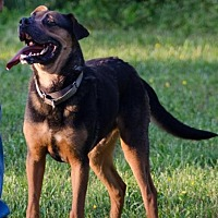 Shepherd (Unknown Type) Mix Dog for adoption in Midlothian, Virginia - Bronko