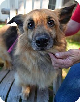 Sheltie, Shetland Sheepdog/Welsh Corgi Mix Dog for adoption in Prosser, Washington - Lilo - Adopted!