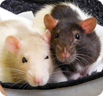 Rat for adoption in Jefferson, Wisconsin - Christina