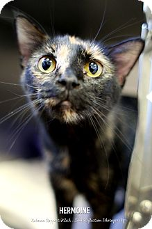 Domestic Shorthair Cat for adoption in Appleton, Wisconsin - Hermoine