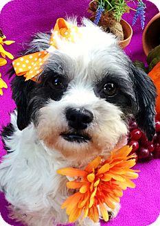 Shih Tzu/Maltese Mix Dog for adoption in Irvine, California - Figgy