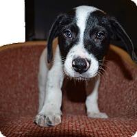 Adopt A Pet :: Leonardo - norridge, IL