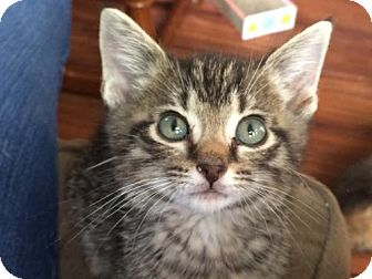 Manx Kitten for adoption in Wilmore, Kentucky - Kade