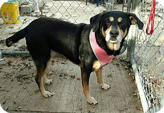 Shepherd (Unknown Type)/Beagle Mix Dog for adoption in Hanna City, Illinois - Laura