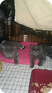 Maine Coon Kitten for adoption in Clay, New York - Mainecoon mix