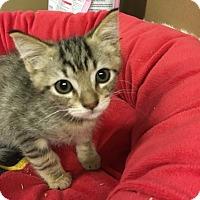 Bengal Kitten for adoption in Redding, California - Hickory