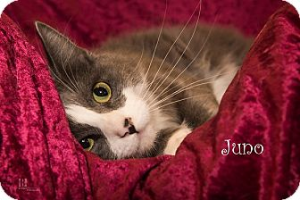 Ragdoll Cat for adoption in San Juan Capistrano, California - Juno