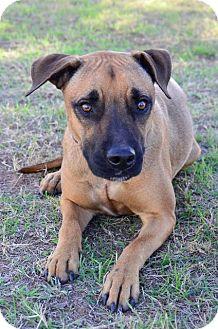 Boxer/Shepherd (Unknown Type) Mix Dog for adoption in Midland, Texas - Capricorn