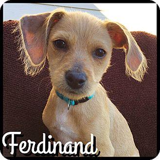 Dachshund/Terrier (Unknown Type, Small) Mix Puppy for adoption in Boulder, Colorado - Ferdinand