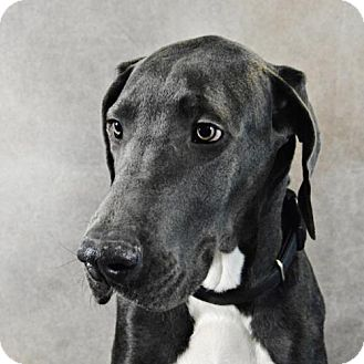 Great Dane Puppy for adoption in St. Louis Park, Minnesota - Tyrion