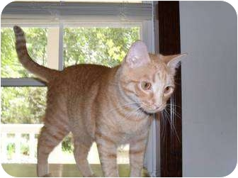 Domestic Shorthair Cat for adoption in Farminton, Arkansas - Tommy