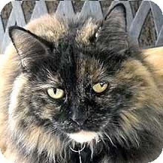 Domestic Longhair Cat for adoption in Phoenix, Arizona - Shalimar