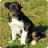 Adopt A Pet :: Bree - Staunton, VA