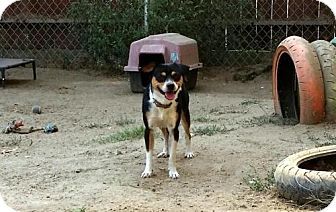 Beagle/Border Collie Mix Dog for adoption in Lemoore, California - Terry Bradspaw