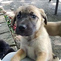 Adopt A Pet :: Dolly - Valparaiso, IN