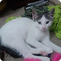Domestic Shorthair Kitten for adoption in Tampa, Florida - Val