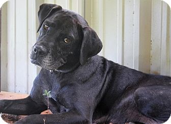 Labrador Retriever Mix Dog for adoption in Austin, Texas - Miss Molly Oklahoma