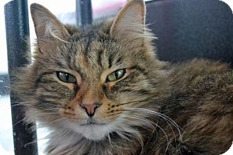 Domestic Mediumhair Cat for adoption in Akron, Ohio - Andi