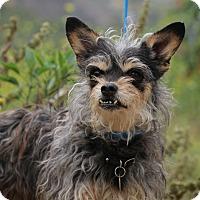 Adopt A Pet :: Maggie - Fillmore, CA