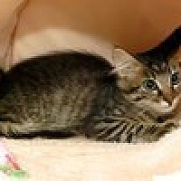 Domestic Mediumhair Kitten for adoption in Arlington, Texas - Louise