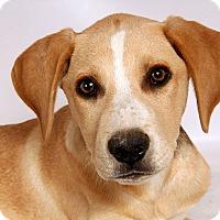 Adopt A Pet :: Zag Lab BC - St. Louis, MO