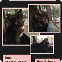 Domestic Shorthair Kitten for adoption in CLEVELAND, Ohio - Cinnamon