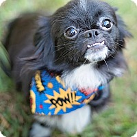 Adopt A Pet :: Gizmo - Boulder, CO
