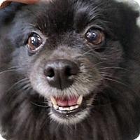 Adopt A Pet :: Zsa Zsa - Warren, MI