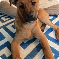 Adopt A Pet :: Cotton - Princeton, MN