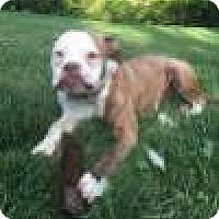 American Bulldog Dog for adoption in Newtown, Pennsylvania - Rosie Posie