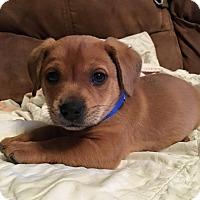 Dachshund/Beagle Mix Puppy for adoption in Bath, Maine - Zeus