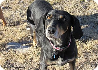 Coonhound Mix Dog for adoption in Hartville, Wyoming - Teva