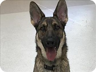 German Shepherd Dog Mix Dog for adoption in Portland, Oregon - Gunther