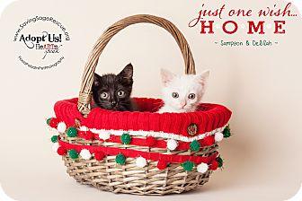 Domestic Mediumhair Kitten for adoption in Miami Shores, Florida - Sampson